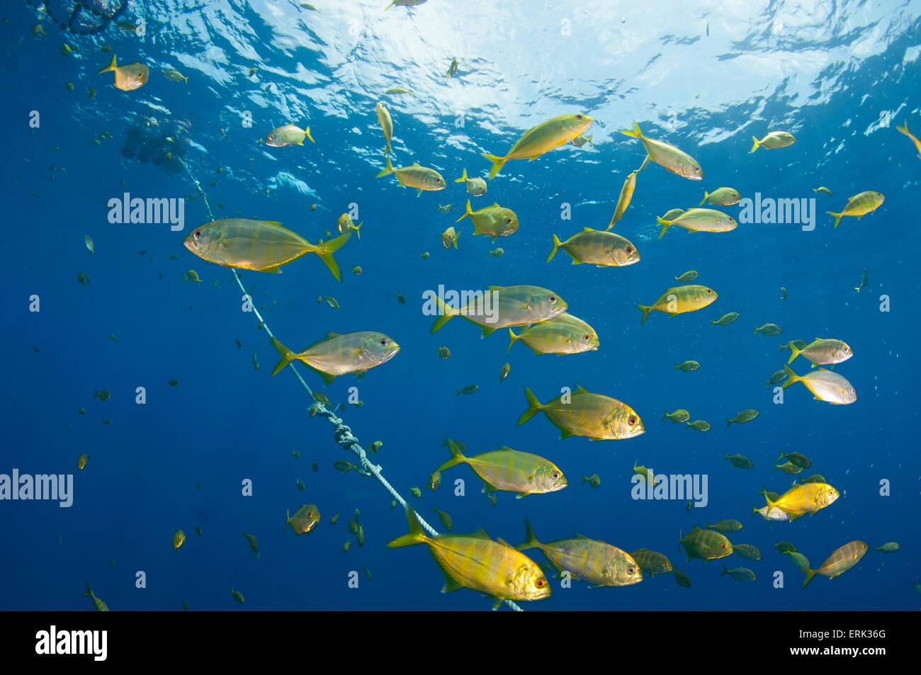 School of Juvenile Bigeye Trevallies, Caranx sexfasciatus, under Fish Aggregation Device, South Male Atoll, Maldives - Stock Image