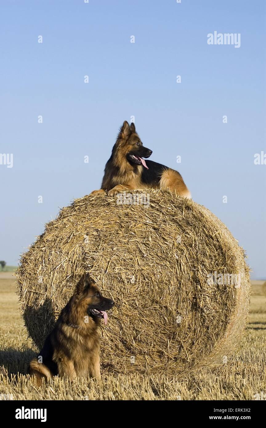 German Shepherds - Stock Image