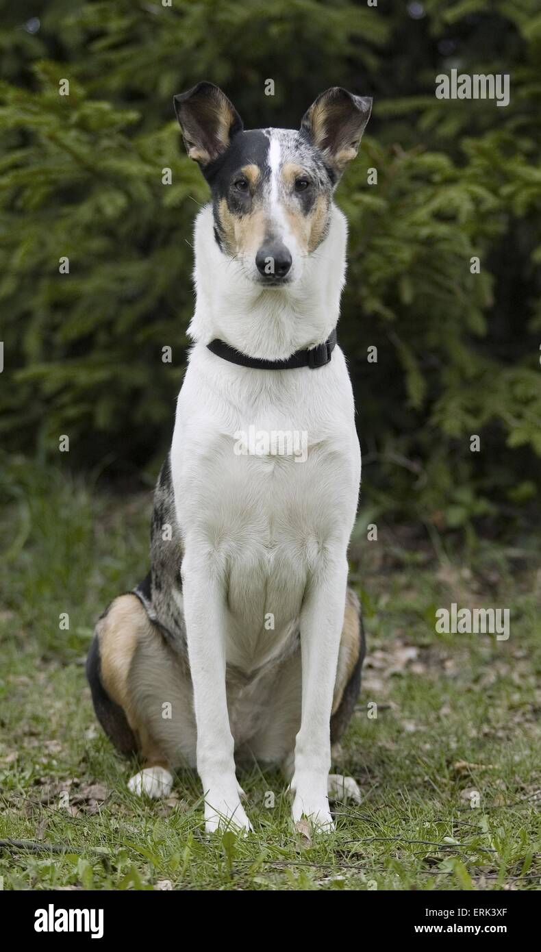 shorthaired collie - Stock Image