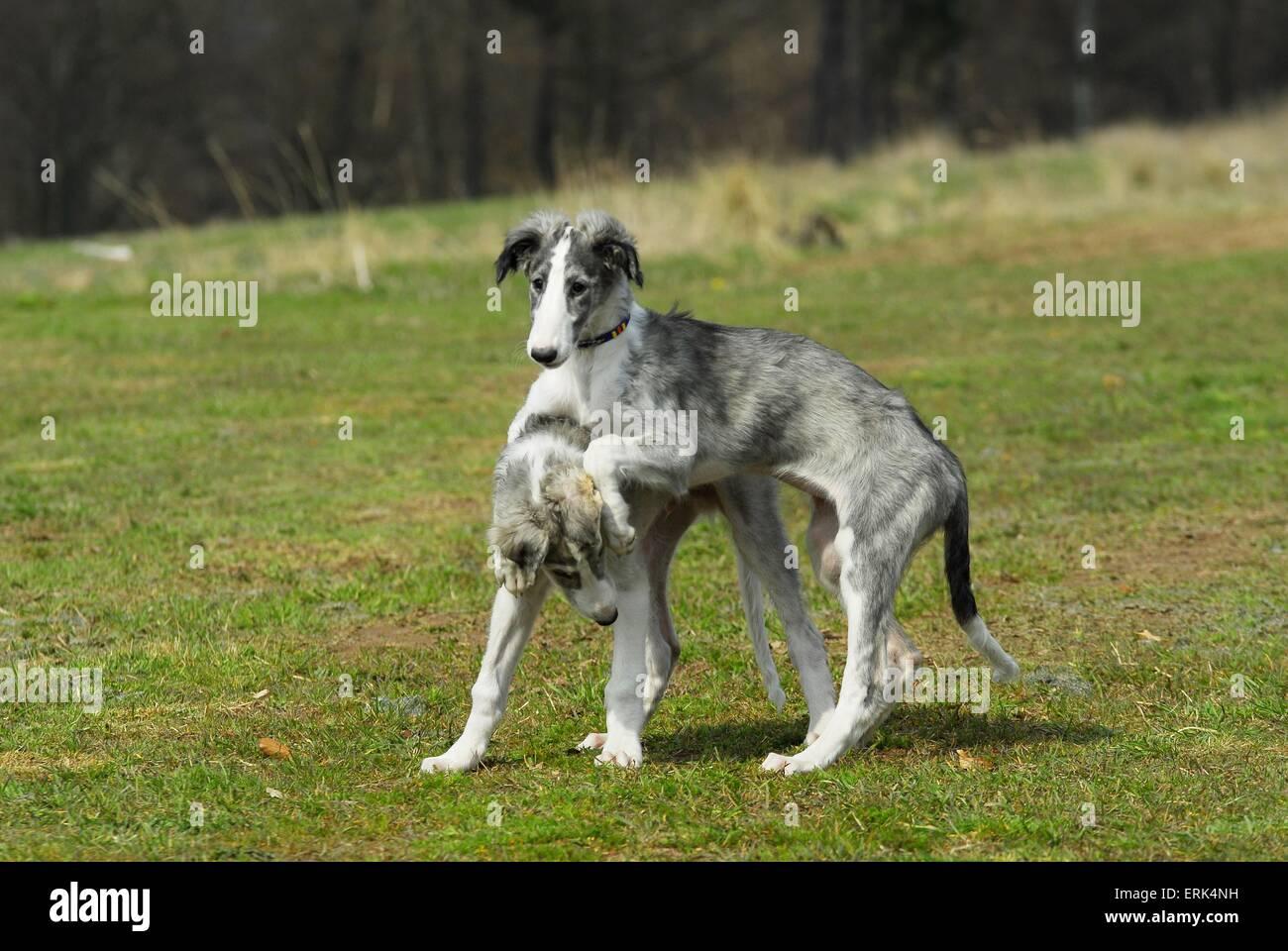 playing Borzoi Puppies Stock Photo