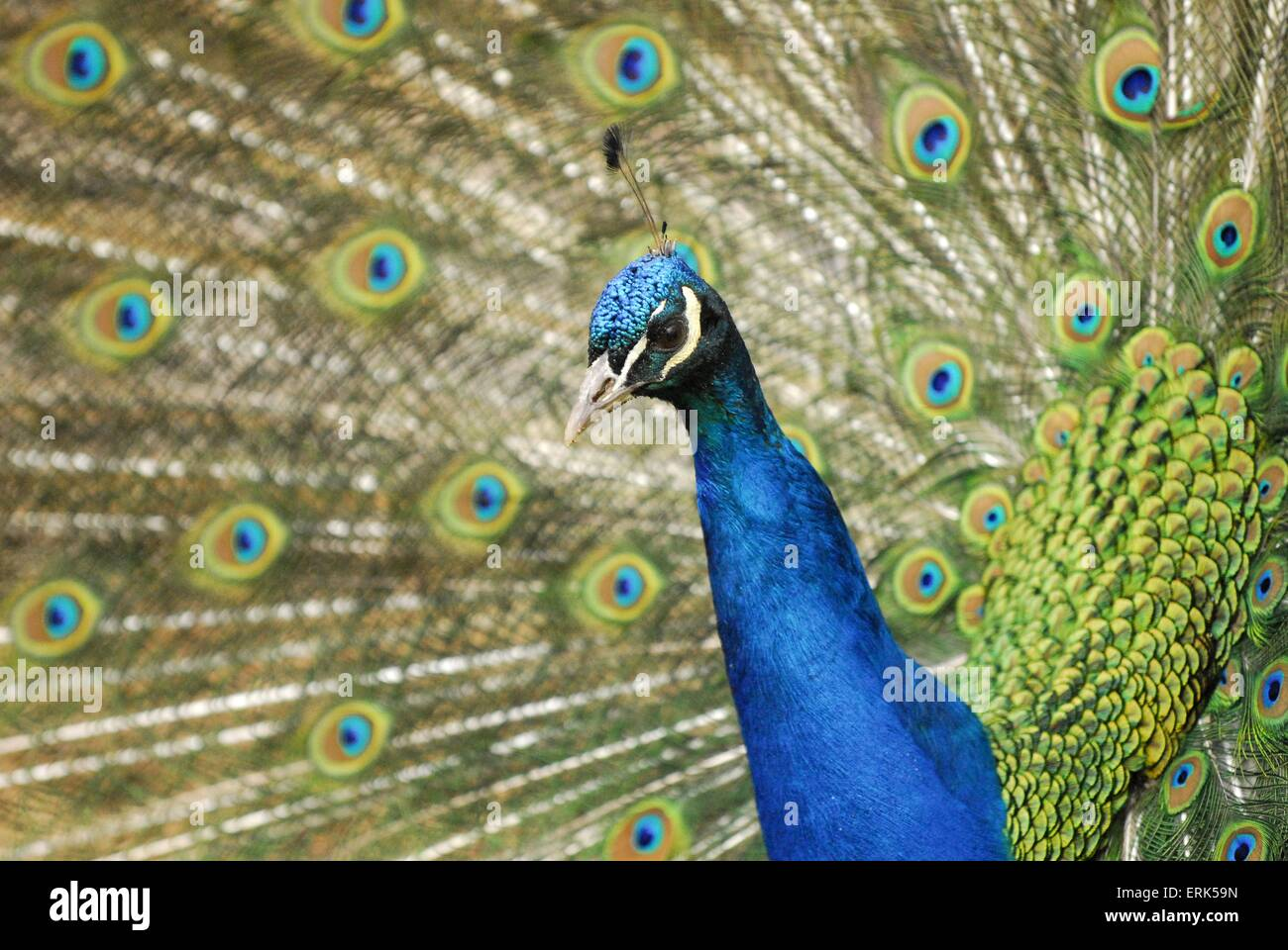 peacock - Stock Image