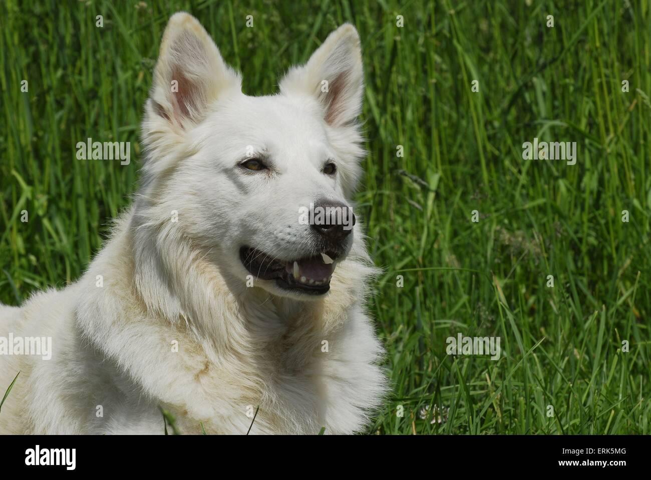 white shepherd - Stock Image