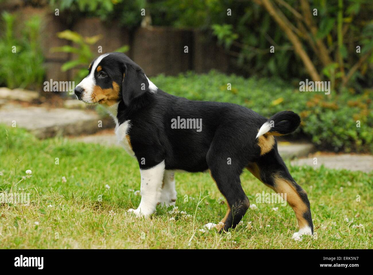 Appenzell Mountain Dog Puppy Stock Photo 83400163 Alamy