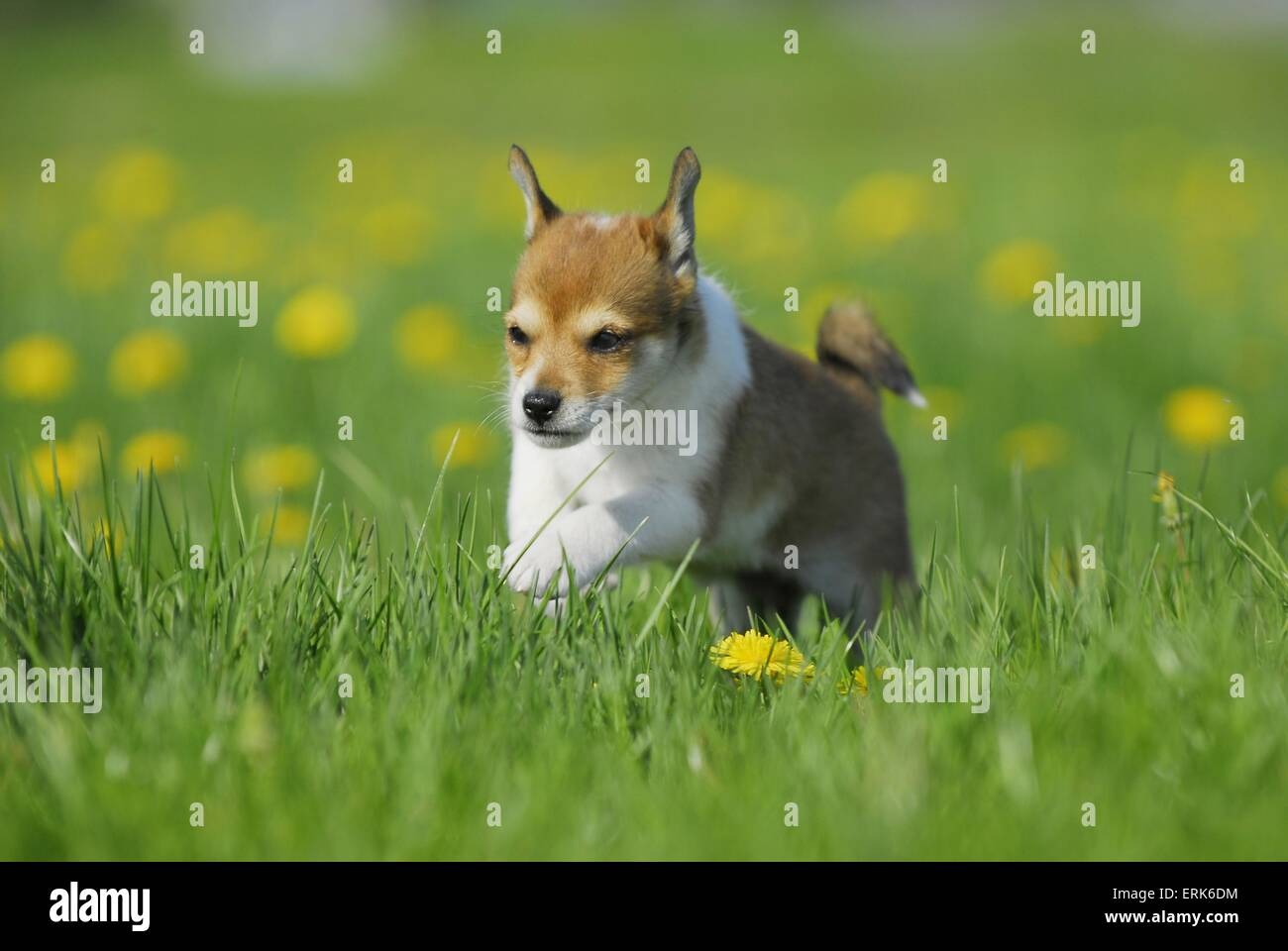 Norwegian Lundehund Puppy Stock Photo 83400736 Alamy
