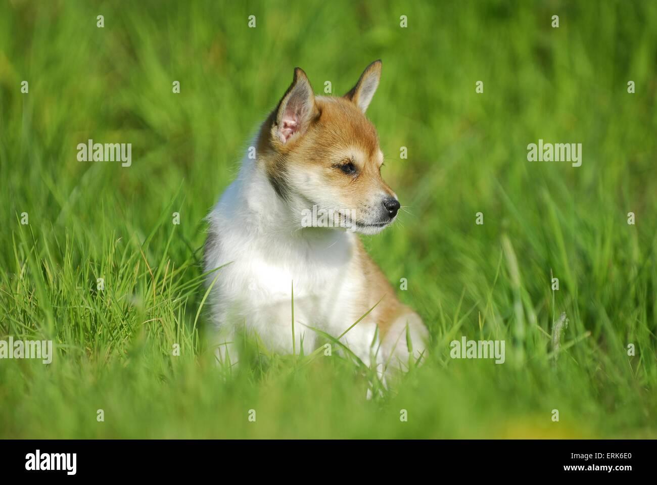 Norwegian Lundehund Puppy Stock Photo 83400744 Alamy