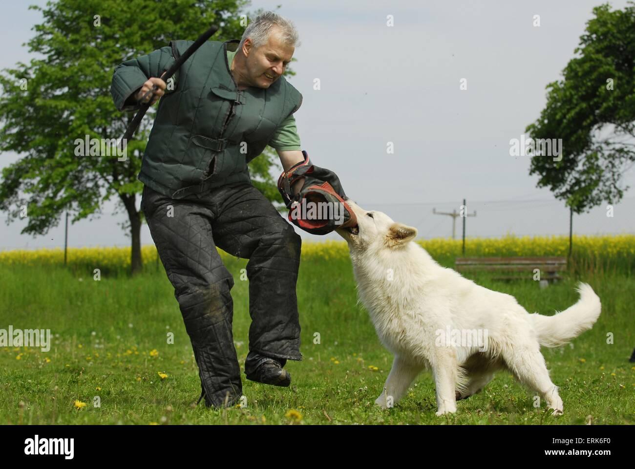 stock dog training