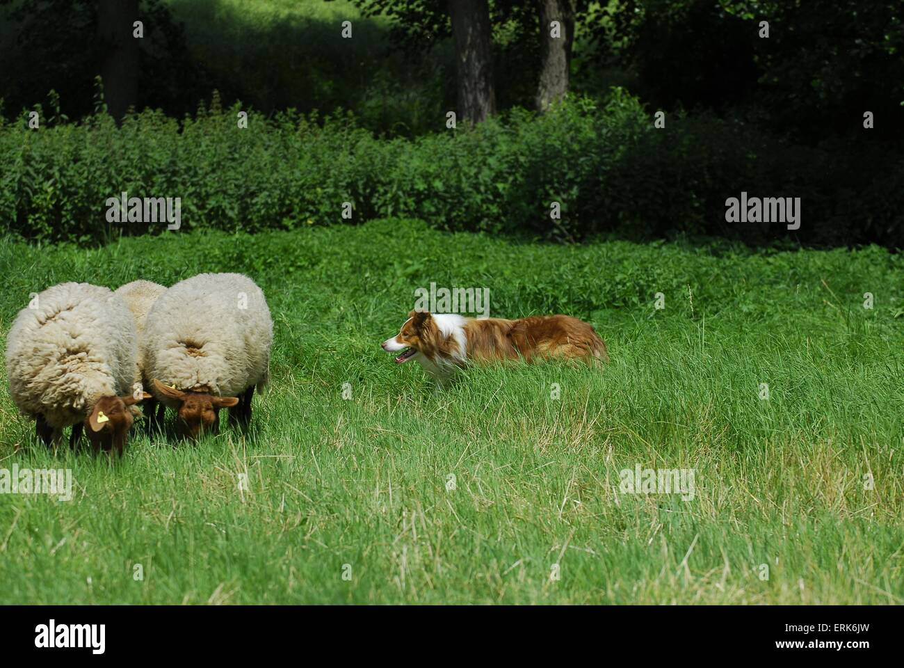 shepherding Border Collie - Stock Image