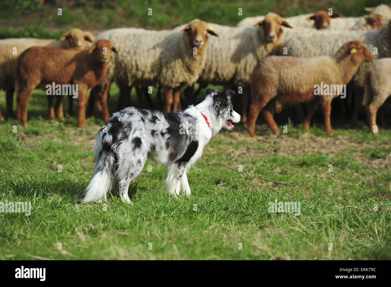 Border Collie and sheeps - Stock Image