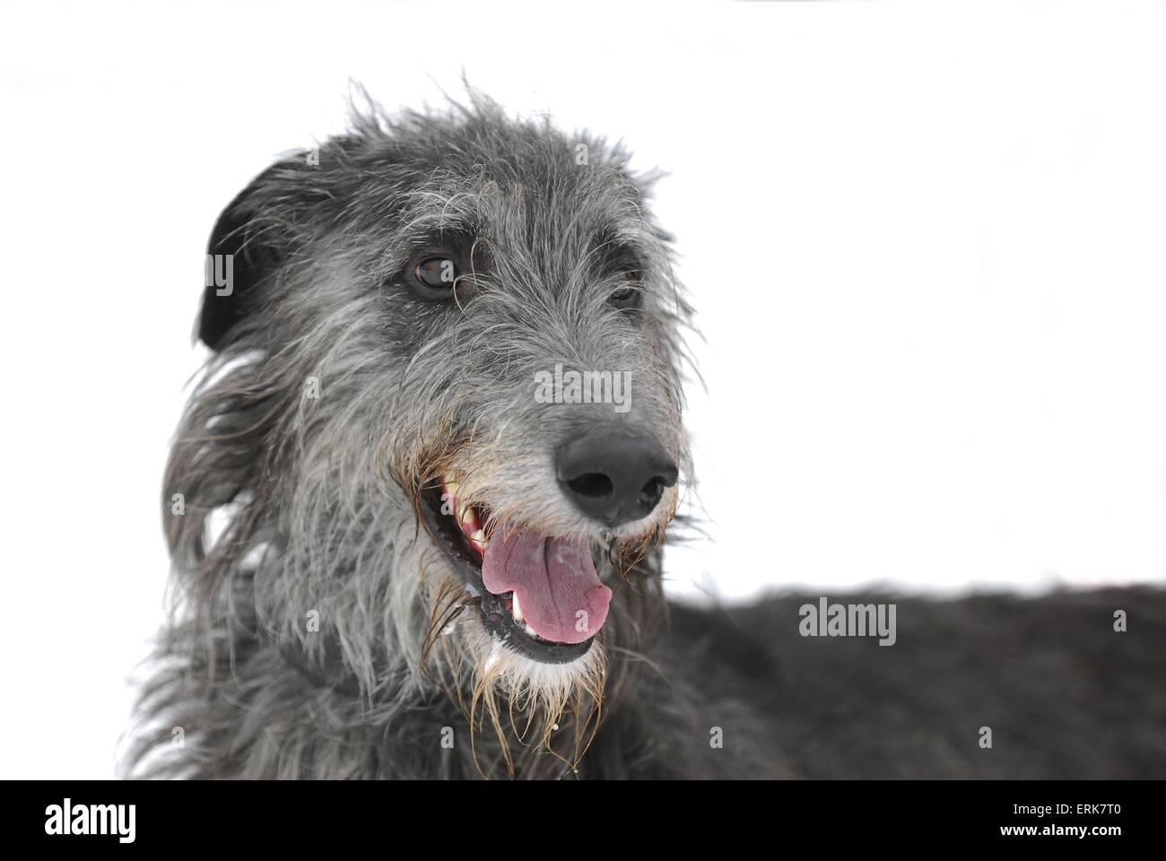 Deerhound Stock Photo