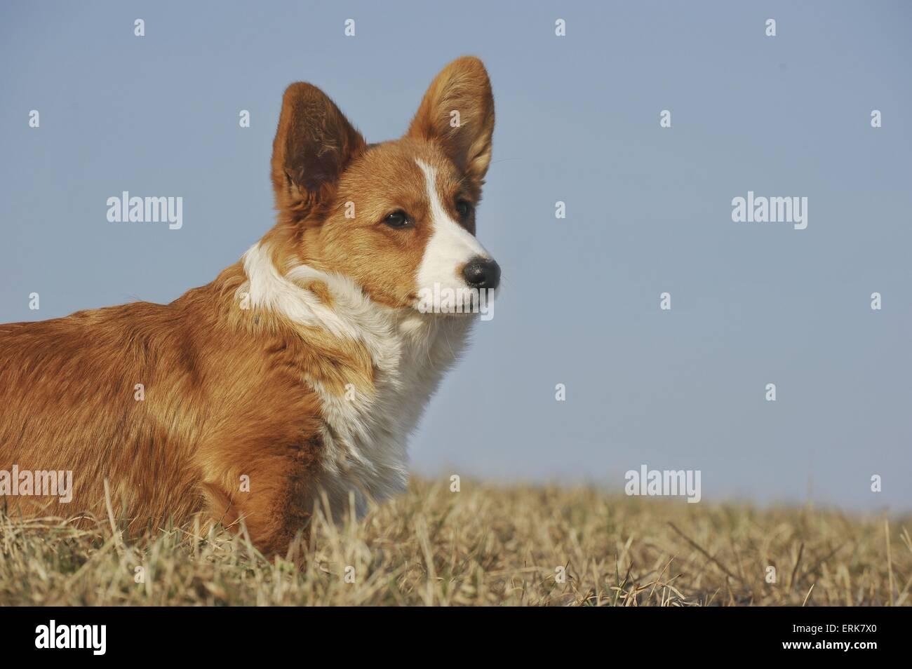 Welsh Corgi Cardigan Puppy - Stock Image