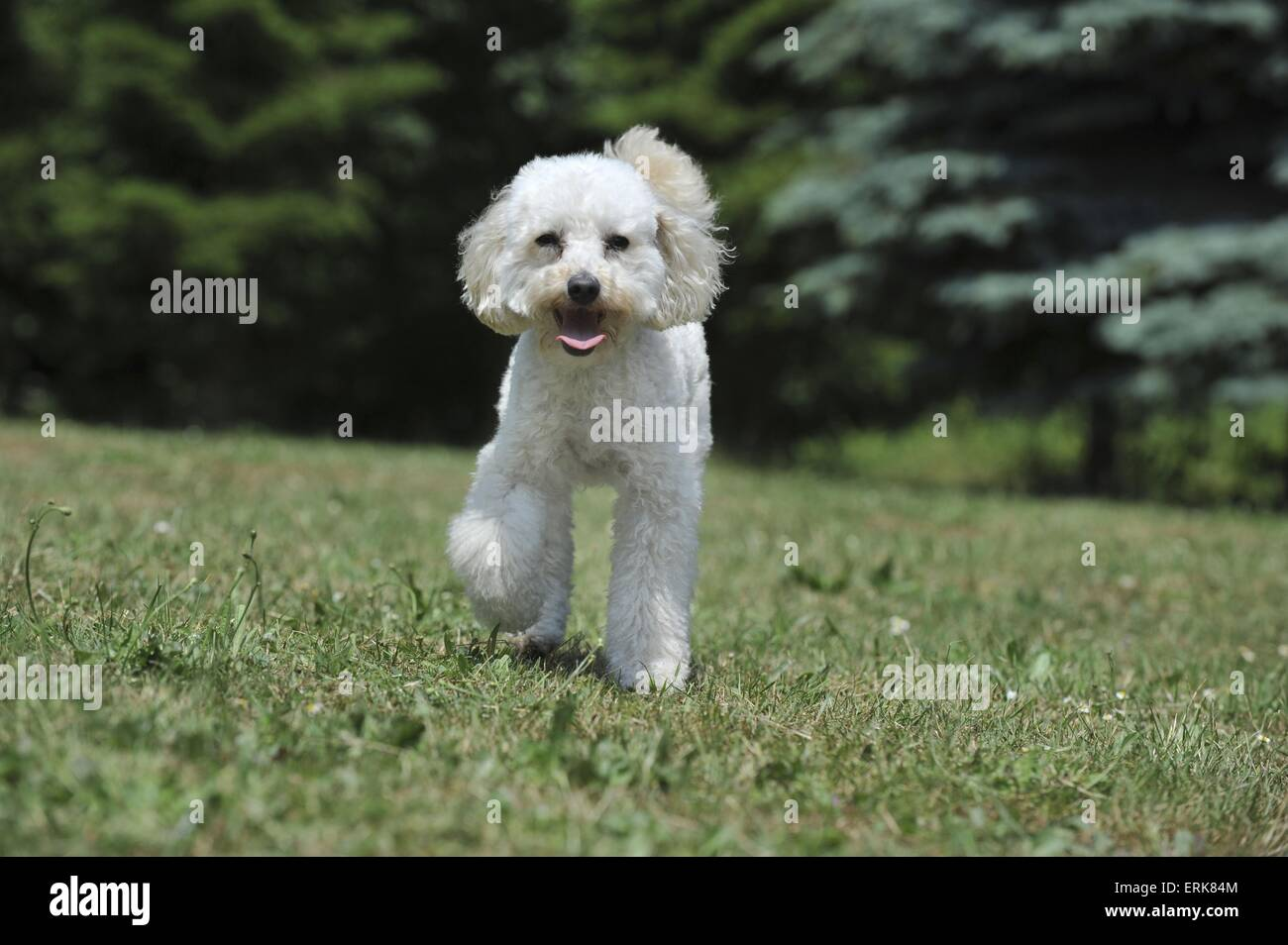 walking Poodle - Stock Image