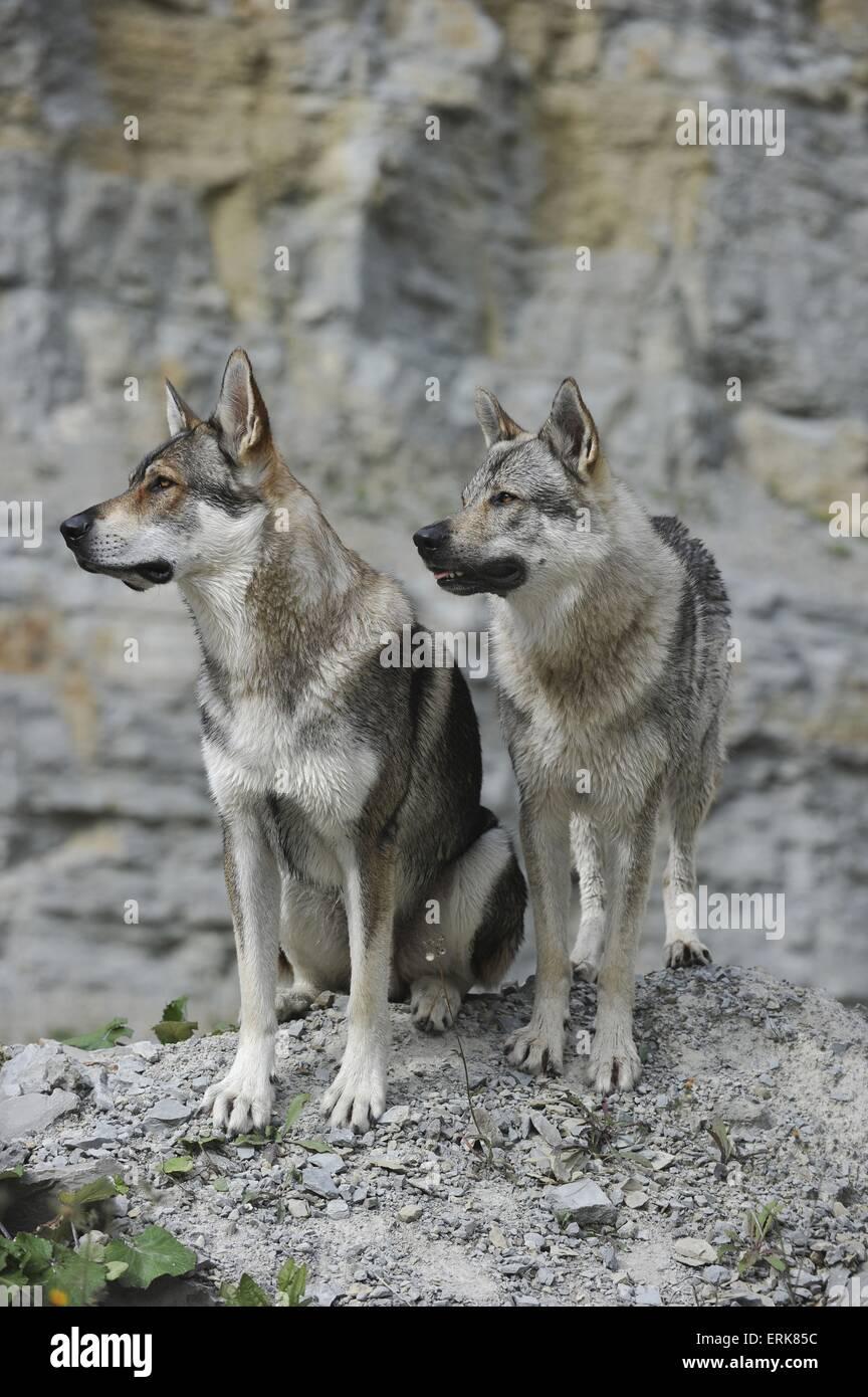 Czechoslovakian wolfdogs - Stock Image