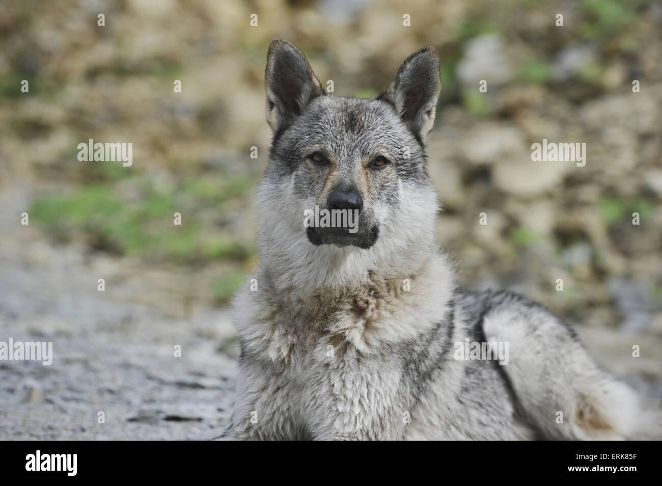 Czechoslovakian wolfdog portrait - Stock Image