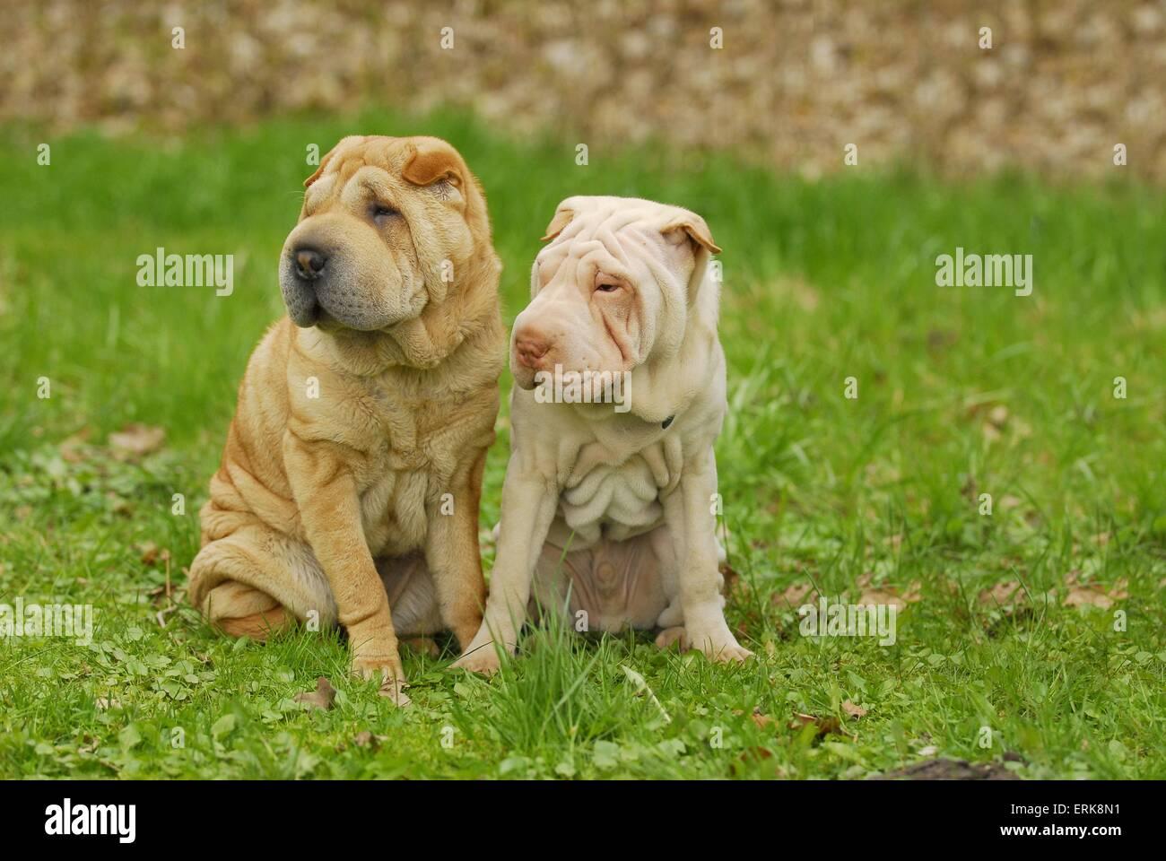 Shar Peis - Stock Image