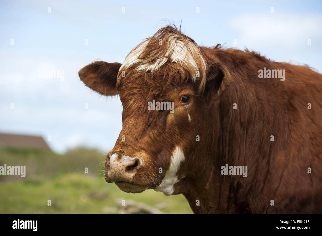 Danish Red Cattle - Stock Image