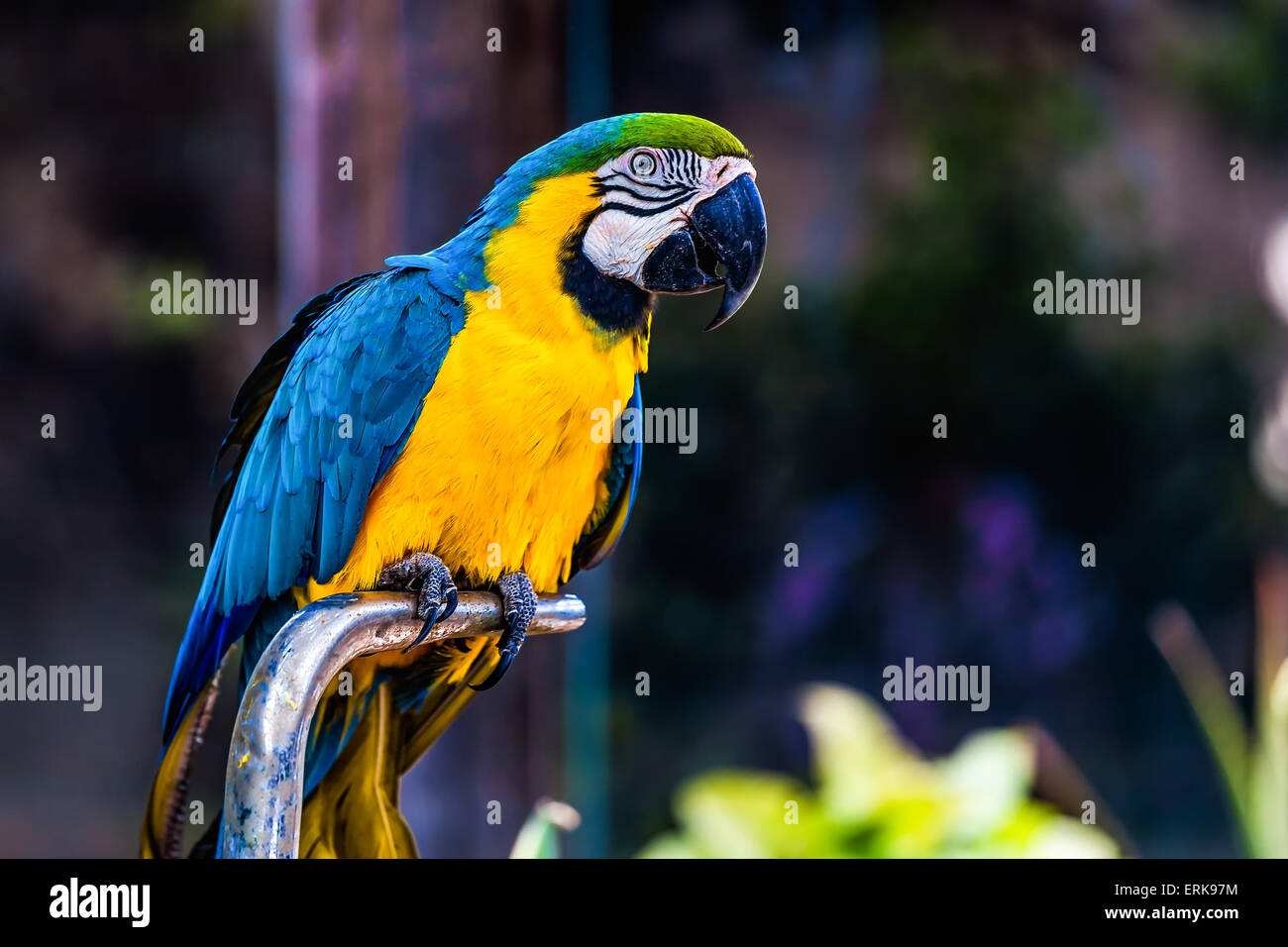 Blue and Gold or yellow Macaw parrot siting on metal perch in zoo - Stock Image