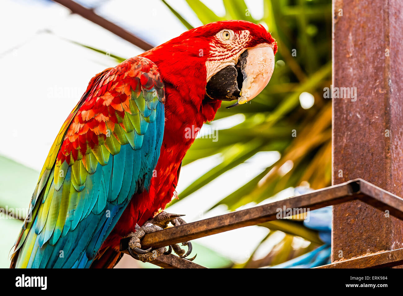 Red Macaw or Ara cockatoos parrot siting on metal perch in zoo - Stock Image