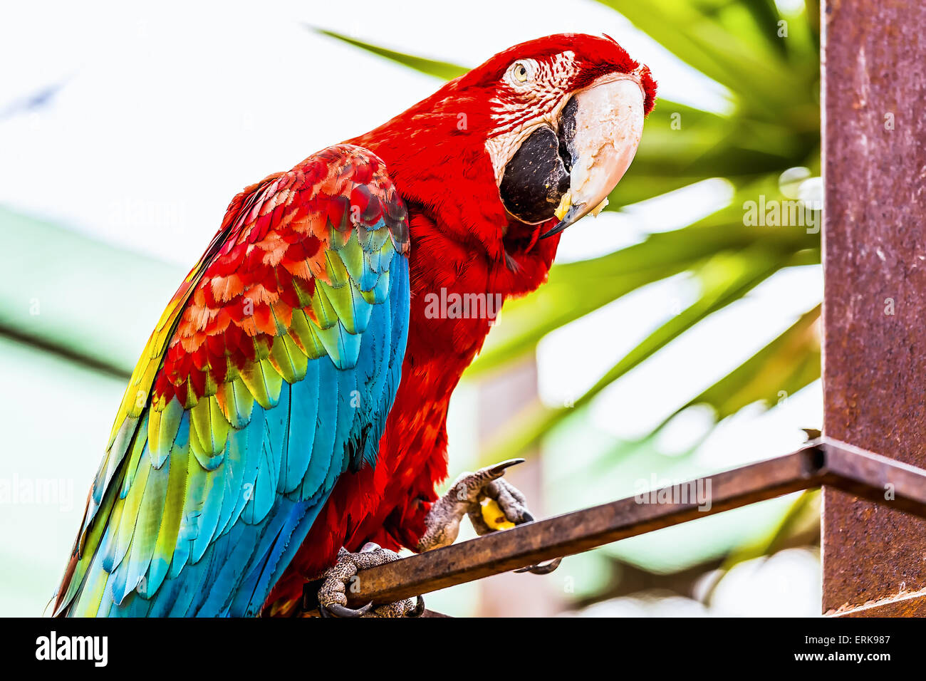 Red Macaw or Ara cockatoos parrot siting on metal perch - Stock Image