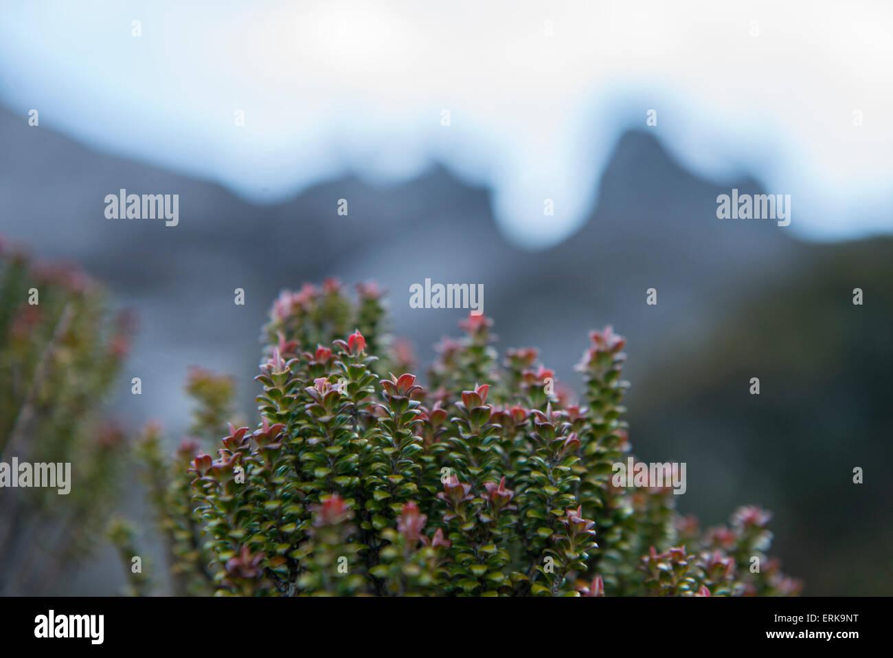 Close up of plant, Mount Kinabalu, Sabah, Borneo, Malaysia - Stock Image