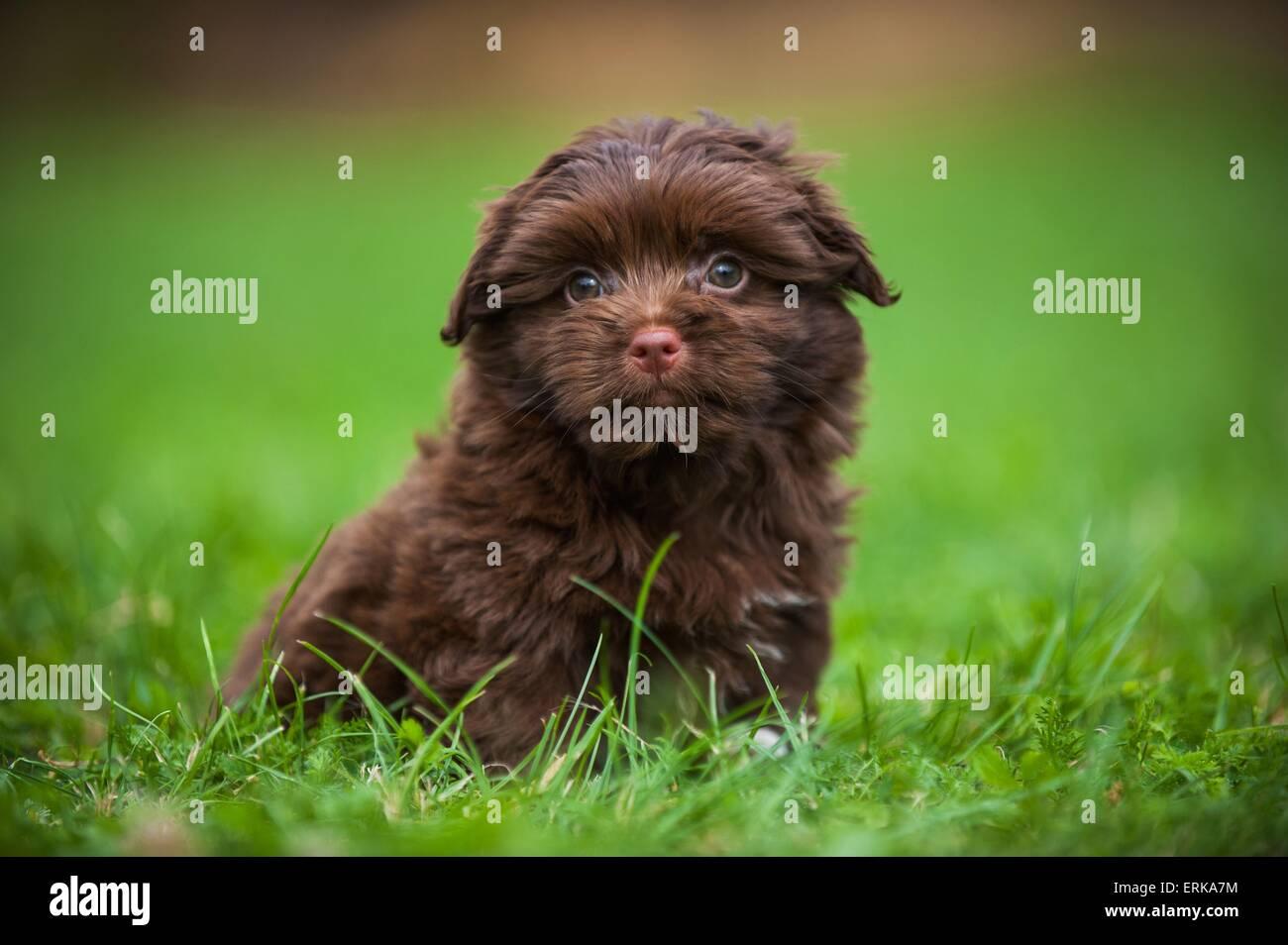 Bolonka zwetna puppy - Stock Image