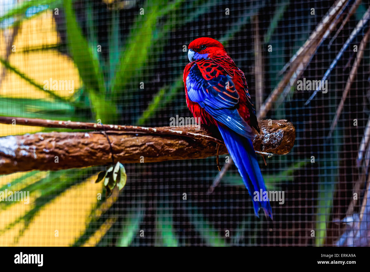 Blue and red parrot siting on wooden perch in zoo - Stock Image