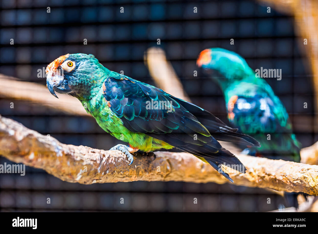 Blue and green parrot siting on wooden perch in zoo - Stock Image