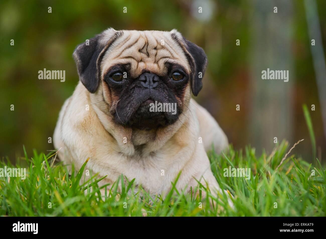 lying pug Stock Photo