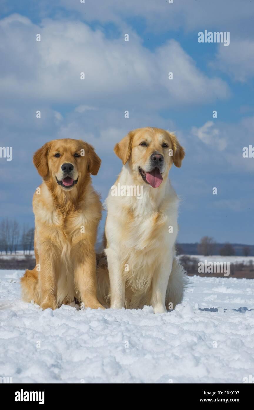 2 Golden Retrievers - Stock Image