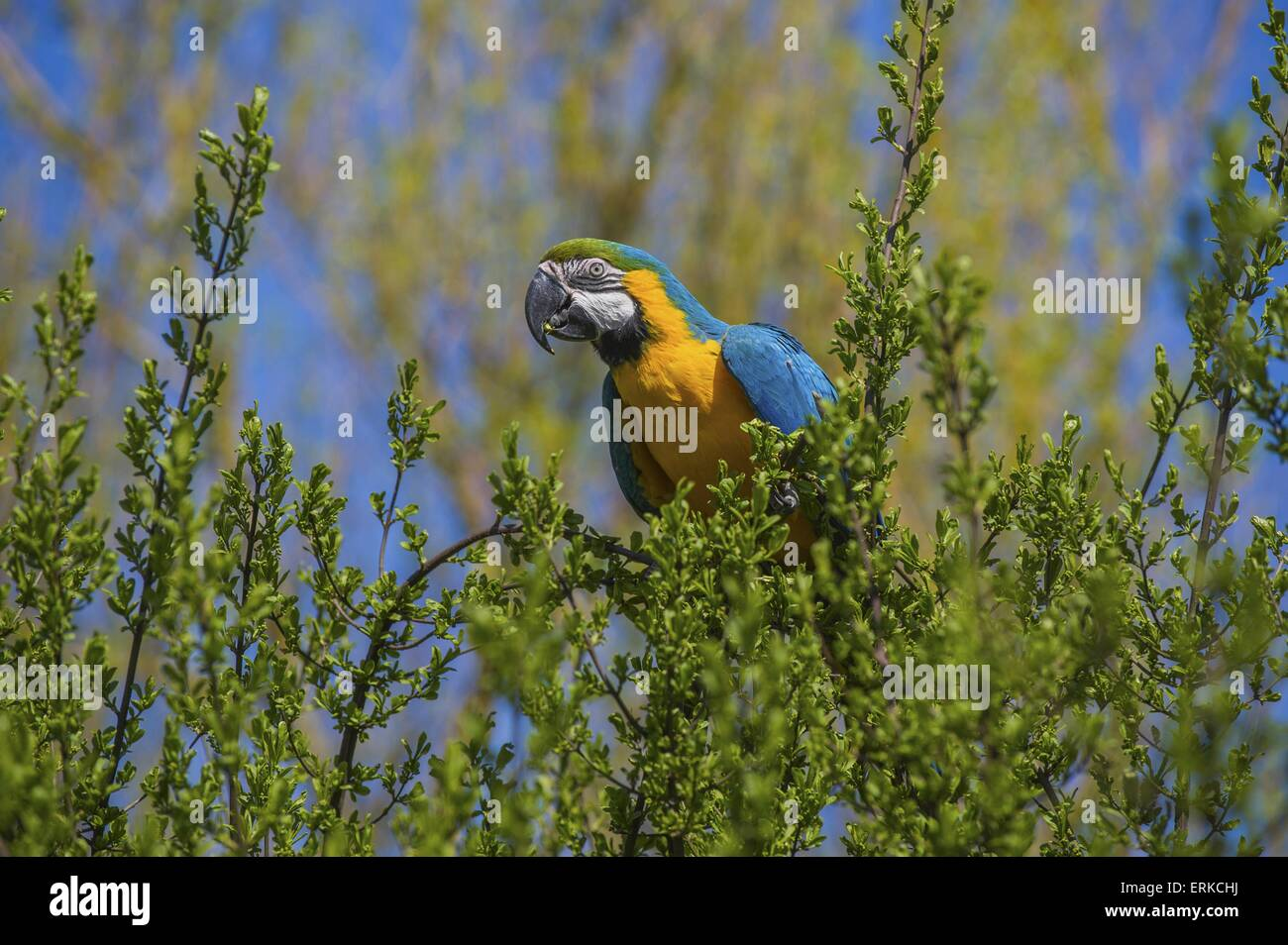 blue and gold macaw Bird Park Marlow - Stock Image