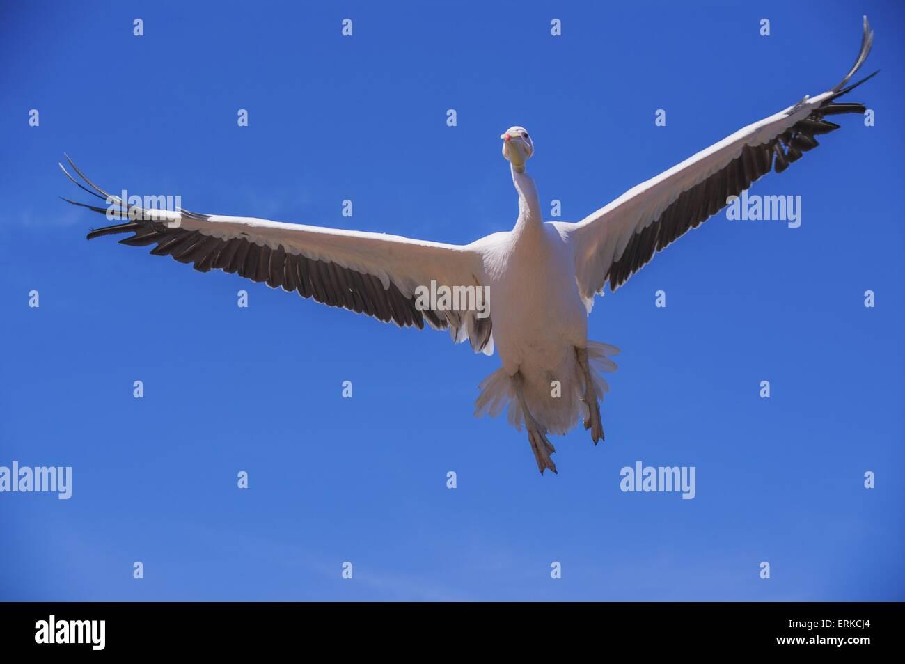 great white pelican Bird Park Marlow Stock Photo