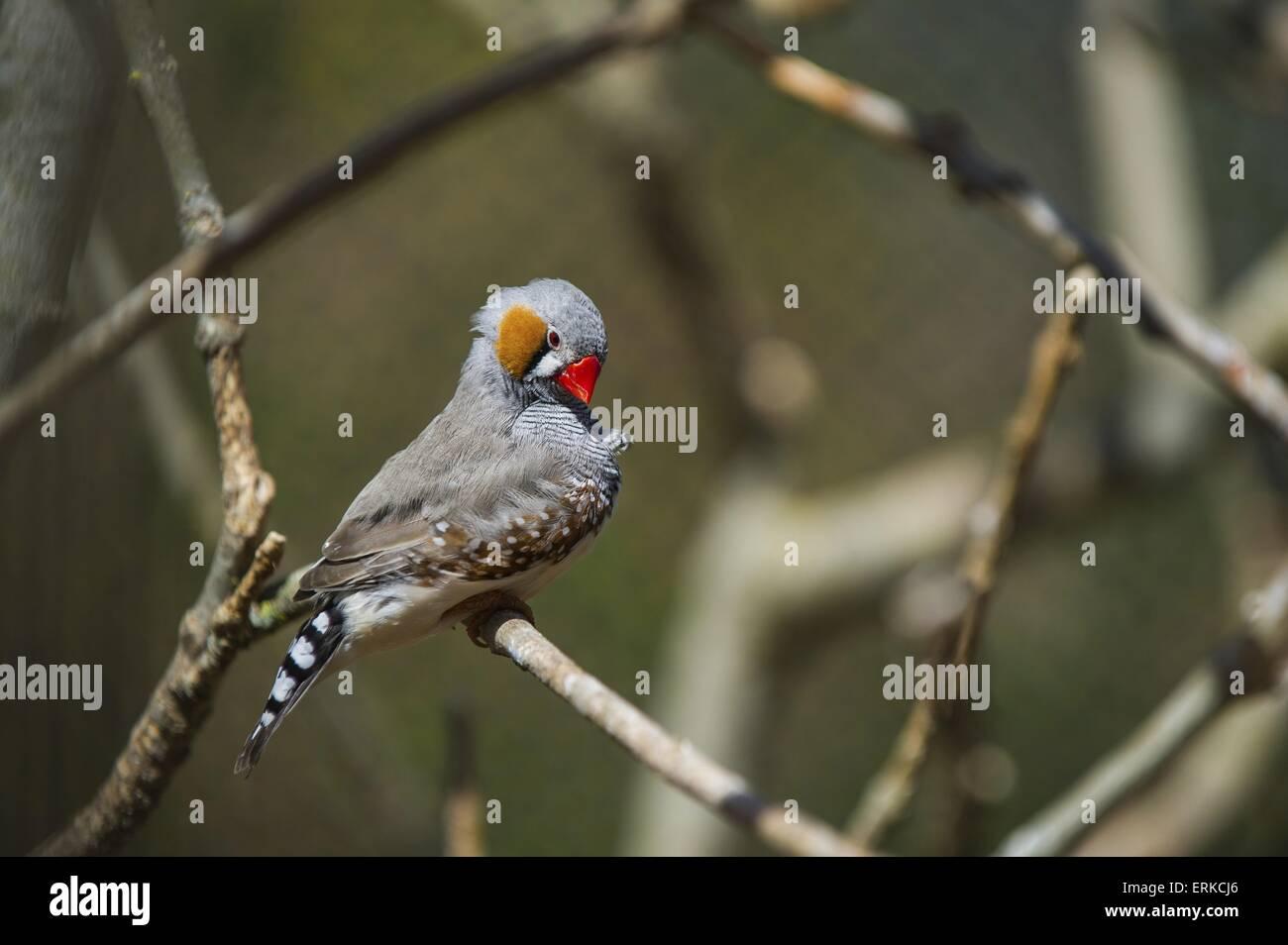 zebra finch Bird Park Marlow - Stock Image
