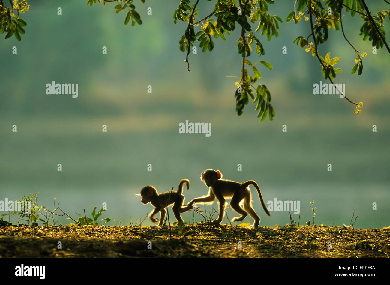Yellow Baboon (Papio cynocephalus), two playful young in the early morning, South Luangwa National Park, Zambia - Stock Image