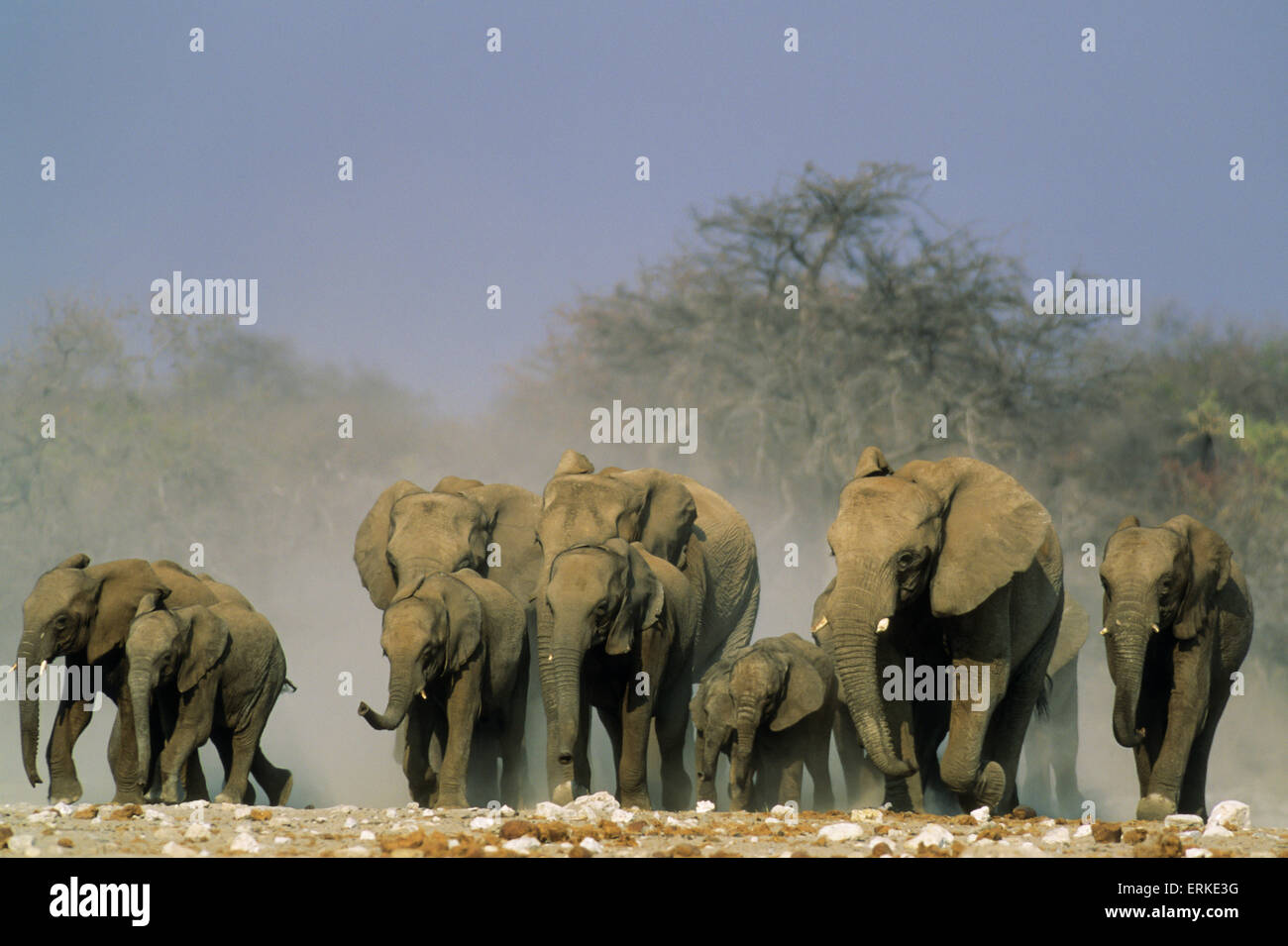 African Elephants (Loxodonta africana), herd rushing towards a waterhole, Etosha National Park, Namibia - Stock Image