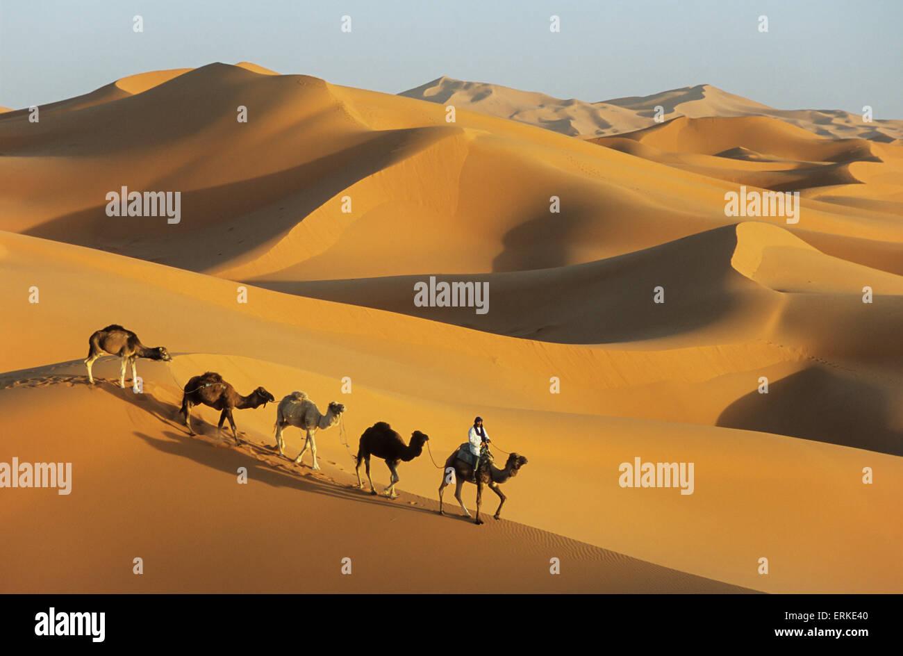 Berber with dromedaries, great sand dunes of Erg Chebbi, Sahara desert, near Merzouga, Morocco - Stock Image
