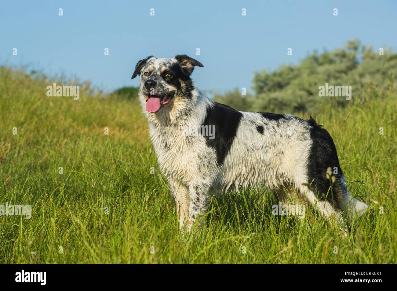 standing Australian-Cattle-Dog-Mongrel - Stock Image