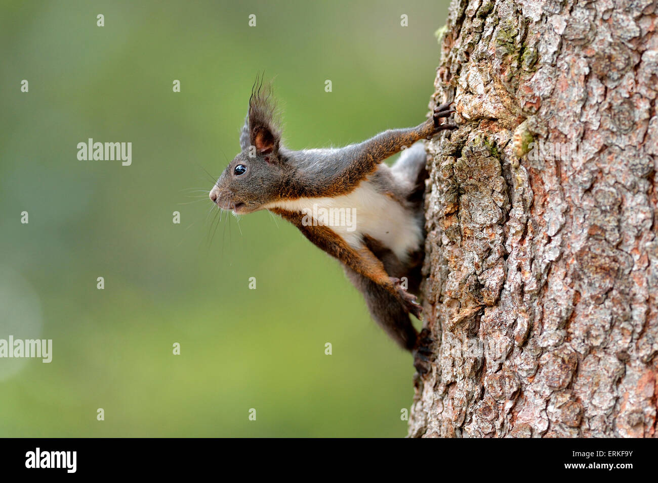 Squirrel (Sciurus vulgaris) climbing on tree trunk, Canton of Graubünden, Switzerland - Stock Image