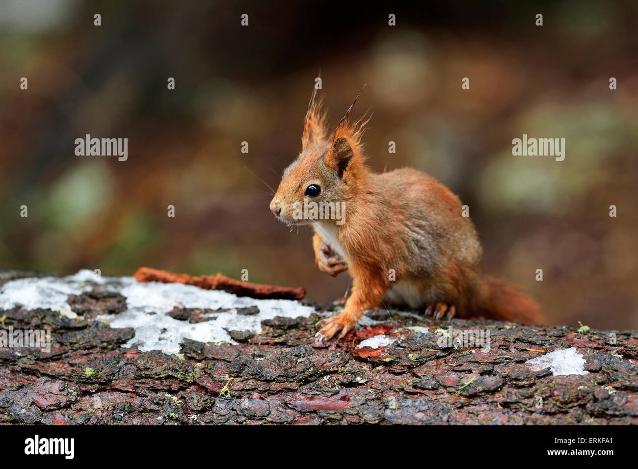 Squirrel (Sciurus vulgaris) on tree trunk, Canton of Graubünden, Switzerland - Stock Image