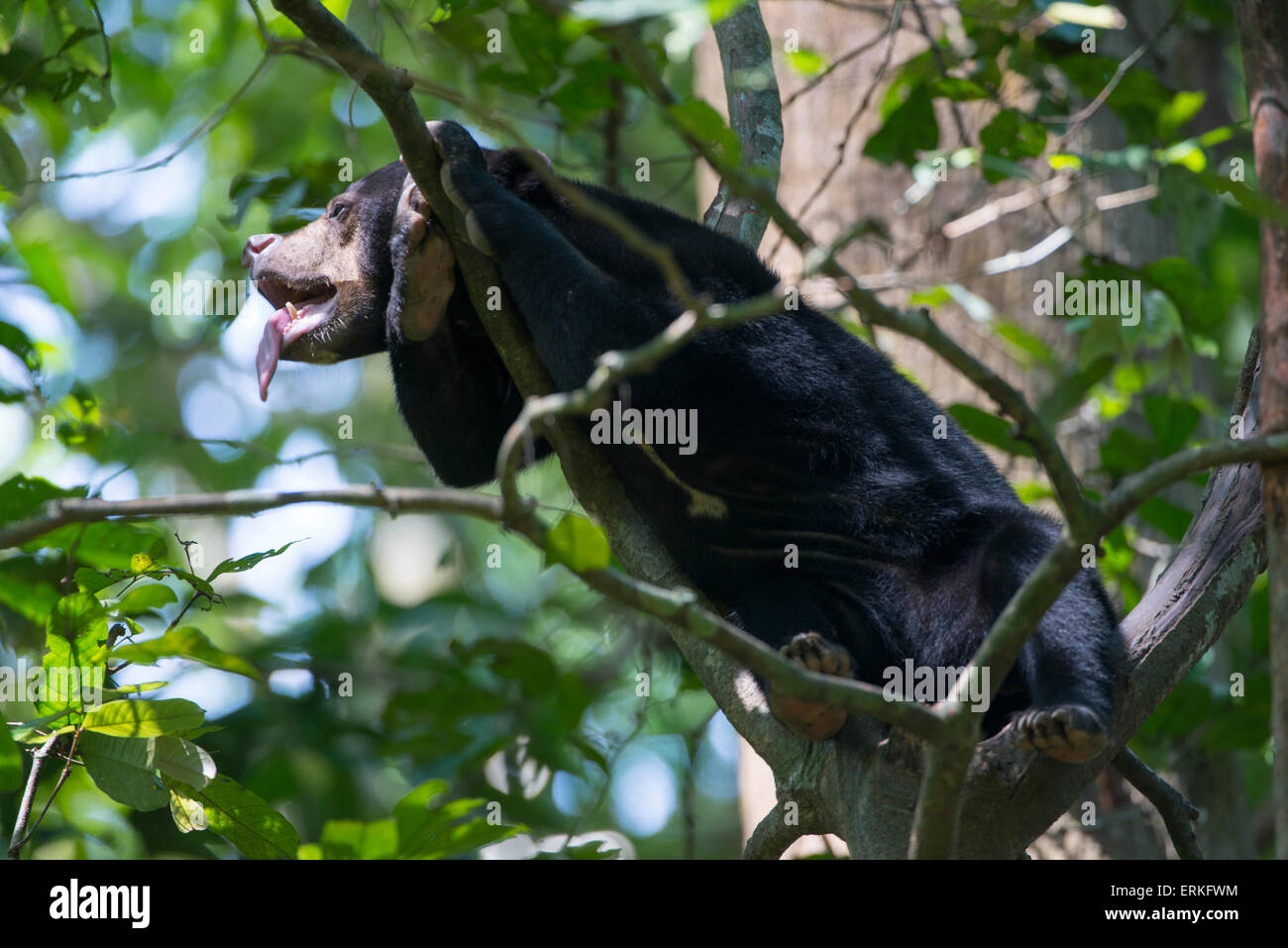 Bornean Sun Bear, Helarctos malayanus, resting in the branches of a tree at the Bornean Sun Bear Conservation Centre, - Stock Image