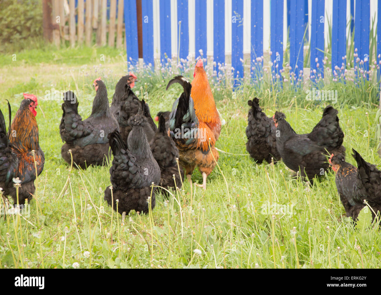 black hens and red rooster - Stock Image