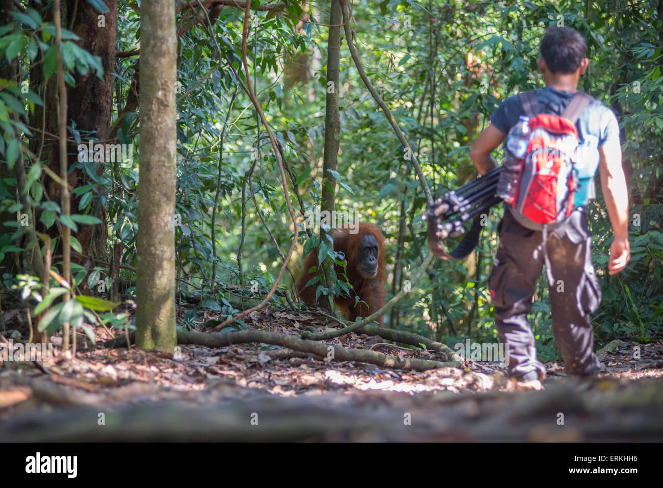 Sumatran orangutan, Pongo abelii, Gunung Leuser National Park, northern Sumatra, Indonesia. Stock Photo