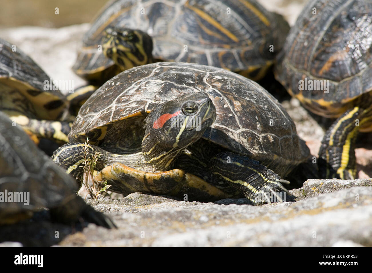 red eared terrapin terrapins basking warming up in the sun cold blooded  Emydidae sunbathing invasive species in - Stock Image