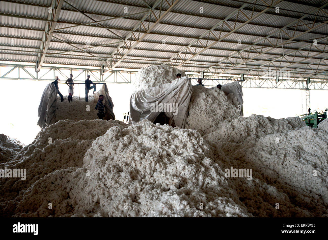 Men unloading newly picked cotton from trucks into huge heaps ready for factory processing, Rajkot district, Gujarat, - Stock Image
