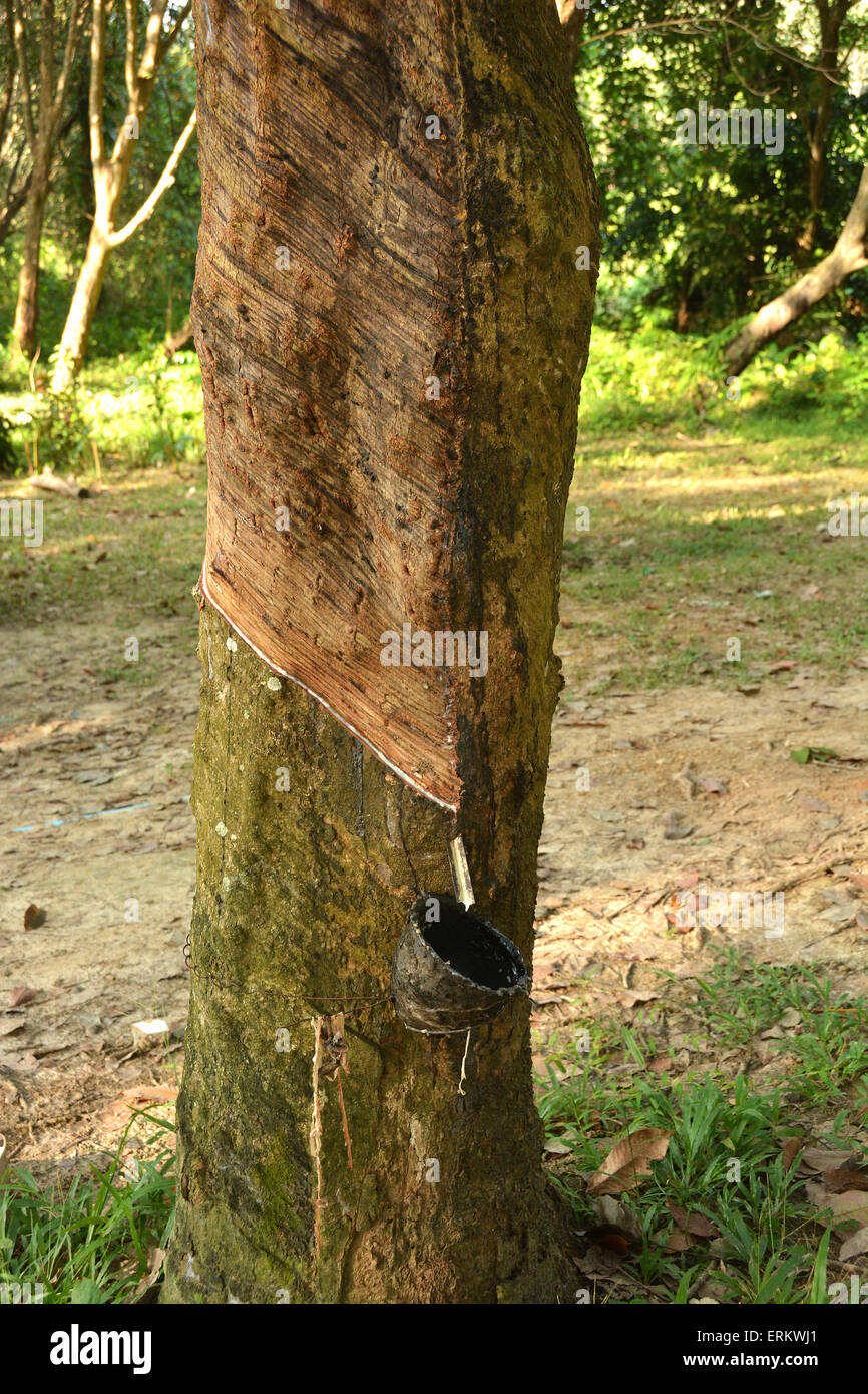 Rubber tapping on Koh Mook, Thailand, Southeast Asia, Asia - Stock Image