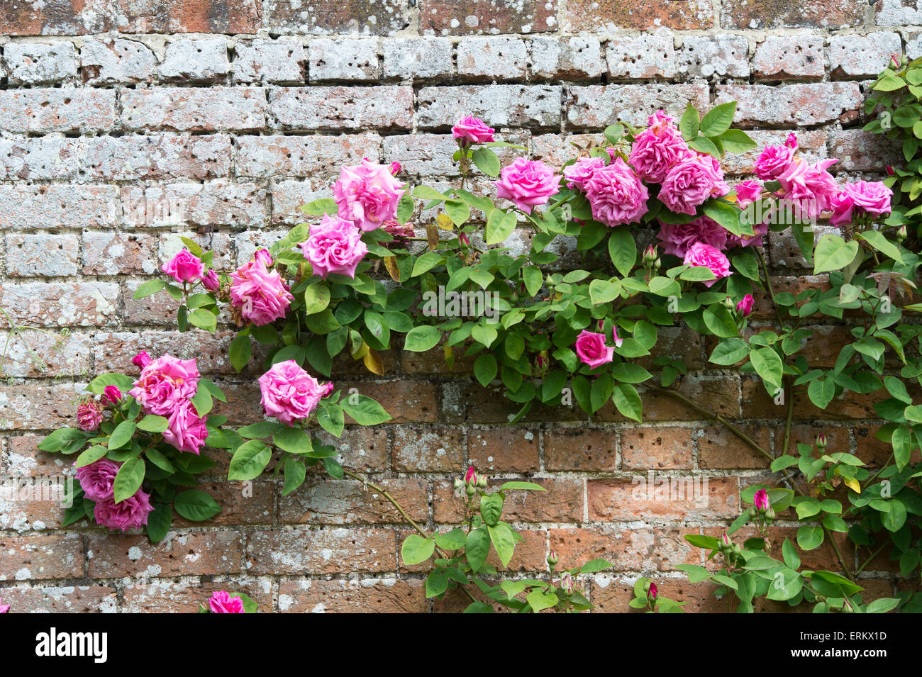 Love Garden Roses: Rosa Zephirine Drouhin. Thornless Rose Climbing Over A