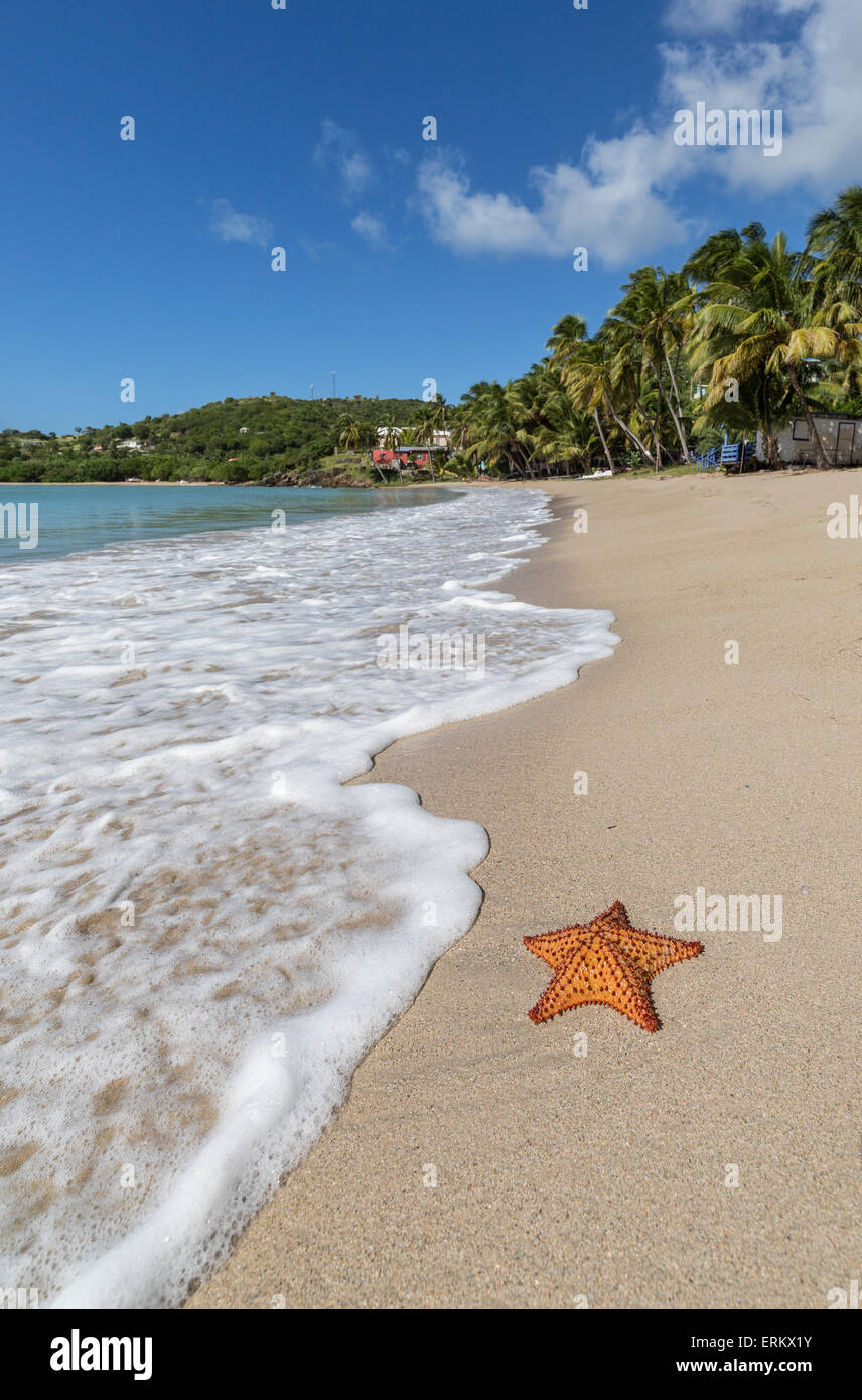 A starfish transported by waves lying motionless on Carlisle Bay, a thin line of sand washed by the Caribbean Sea, - Stock Image