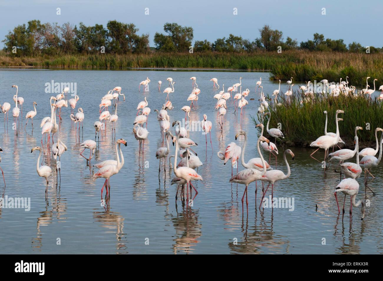 Greater flamingo (Phoenicopterus roseus), Camargue, Provence-Alpes-Cote d'Azur, France, Europe - Stock Image