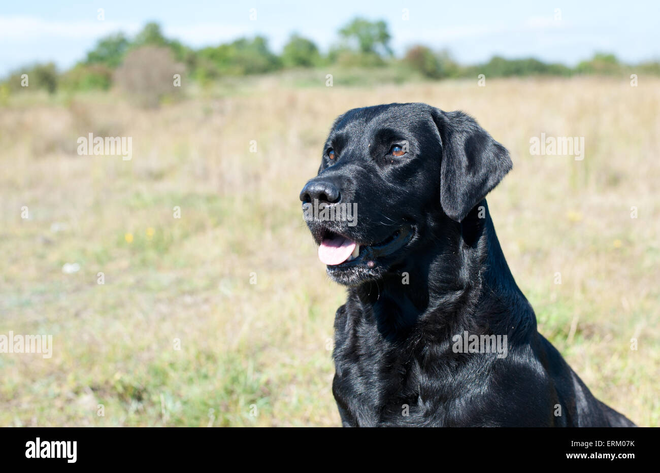 Close up of black Labrador dog outdoors - Stock Image