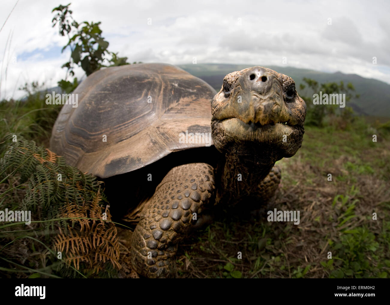 A giant tortoise on Alcedo Volcano in the Galapagos Islands looks straight into the camera at extremely close range. - Stock Image
