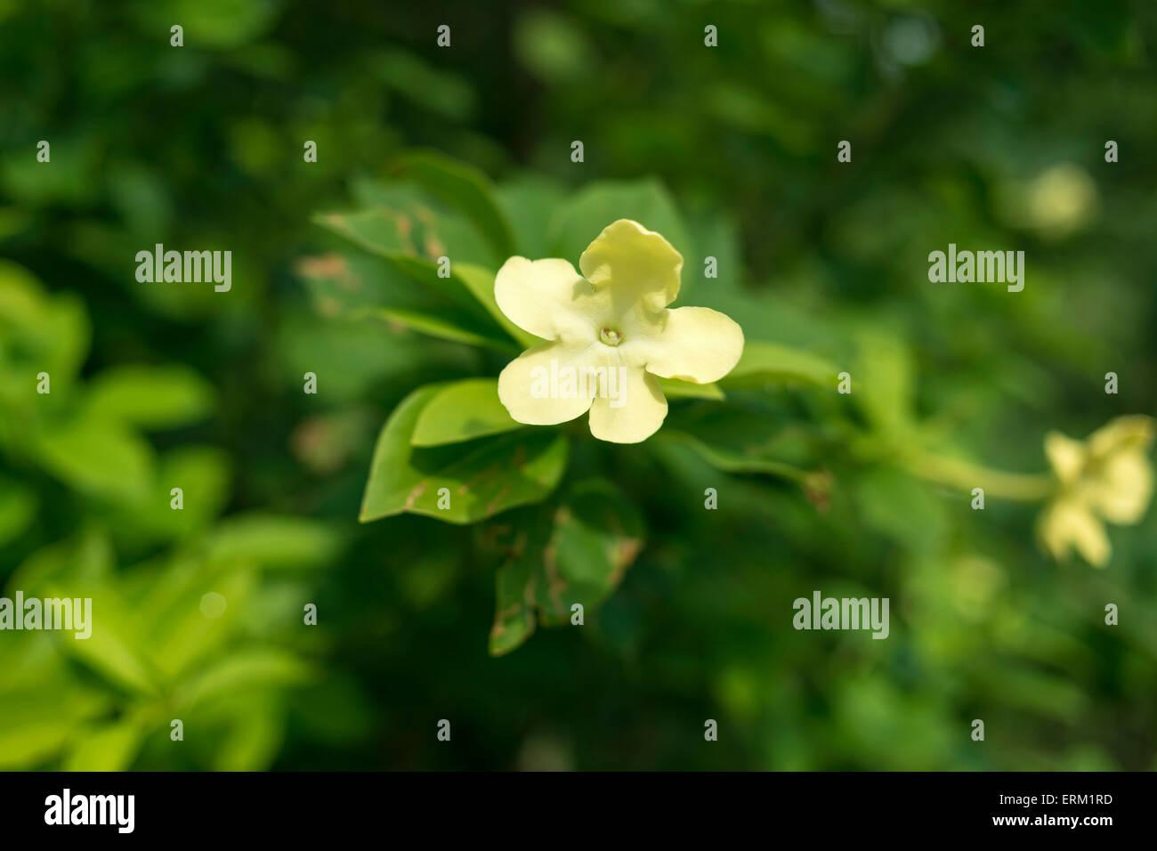 Night blooming jasmine plant with focus on flower stock photo night blooming jasmine plant with focus on flower izmirmasajfo