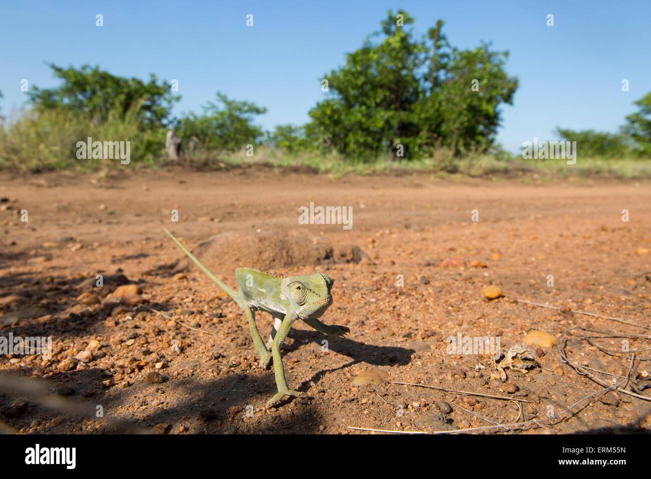 South Africa, Mpumalanga Province, Kruger National Park, Flap Necked Chameleon (Chamaeleo dilepis) walking across - Stock Image